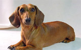 A picture named Dachund.jpg