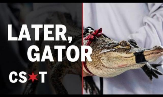Chicago's Renegade Alligator Caught By Florida Expert