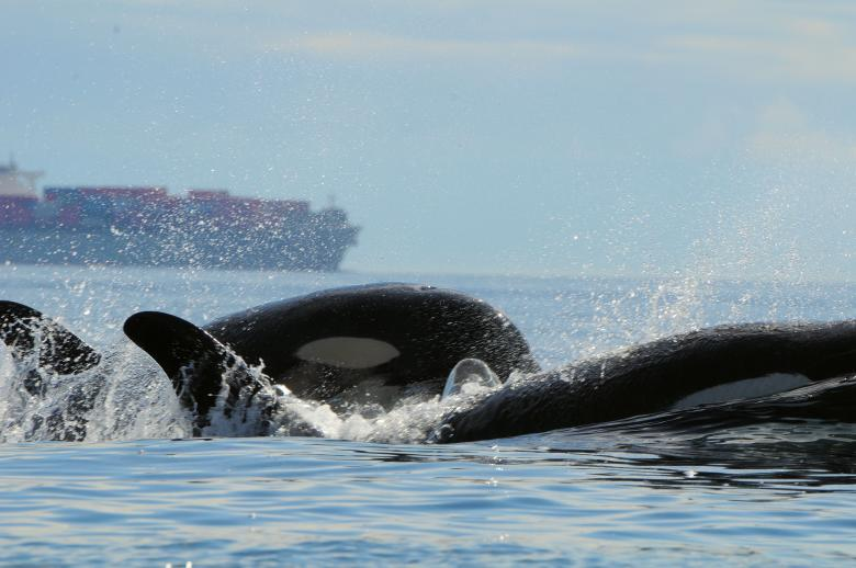 Evidence Mounts: Big Ships Are A Noisy Problem For Orcas