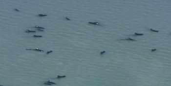 Pod Of Pilot Whales Stranded In Everglades National Park