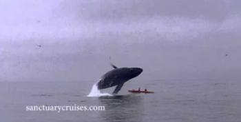 Video: Humpback Whale Breaches Atop Kayakers