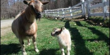 Open Thread - Baby Goat!