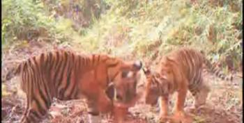 Video Catches Endangered Tiger Cubs Playing In Threatened Forest