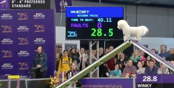Winky The Bichon Frise At Westminster