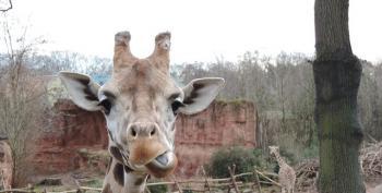 Copenhagen Zoo Puts Down Giraffe, Feeds It To Lions