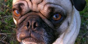 The Cruel Cost Of Extreme Dog Breeding