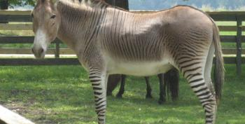 Local GOP Chair Is Totally Sorry He Compared Obama To A Zebra-Donkey Hybrid Who Is All 'A**'