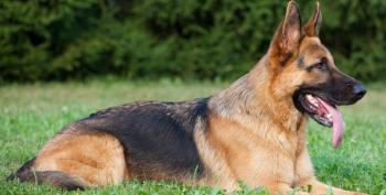 German Shepherd Saves His Family In Road Rage Shooting