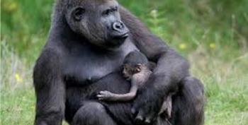 Ebola Has Now Killed A Third Of The World's Gorilla And Chimpanzee Populations