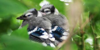 Open Thread - Baby Blue Jays!