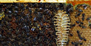 Whistleblower: USDA Punished Me For Tying Pesticides To Hive Collapse