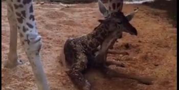 Birth Announcement!  April The Giraffe Has Her Baby -- A Boy!