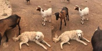 Dog Hailed As Hero After Refusing To Leave Goats Alone In California Wildfires