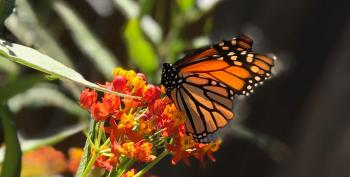 The Monarch Butterflies Are Migrating South