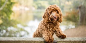 Former Labradoodle Breeder Tapped To Lead U.S. Pandemic Task Force