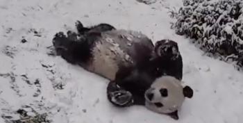 DC Giant Pandas' Snow Day