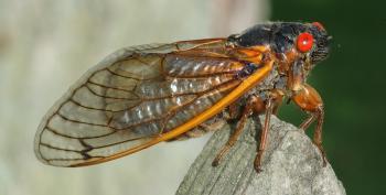 Billions And Billions Of...Cicadas!