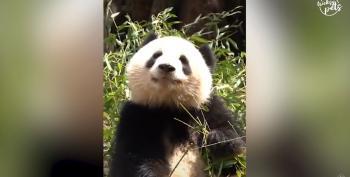 Happy National Panda Day!