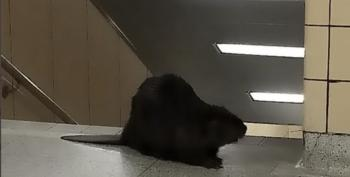 Beaver On The Subway? It's Not What You Think, Pervs