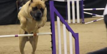 Mastiff Leaves It All On Agility Course