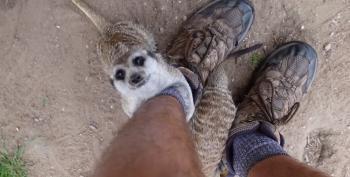 Sebastian The Hugging Meerkat