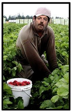 chuck todd strawberry picker.jpg