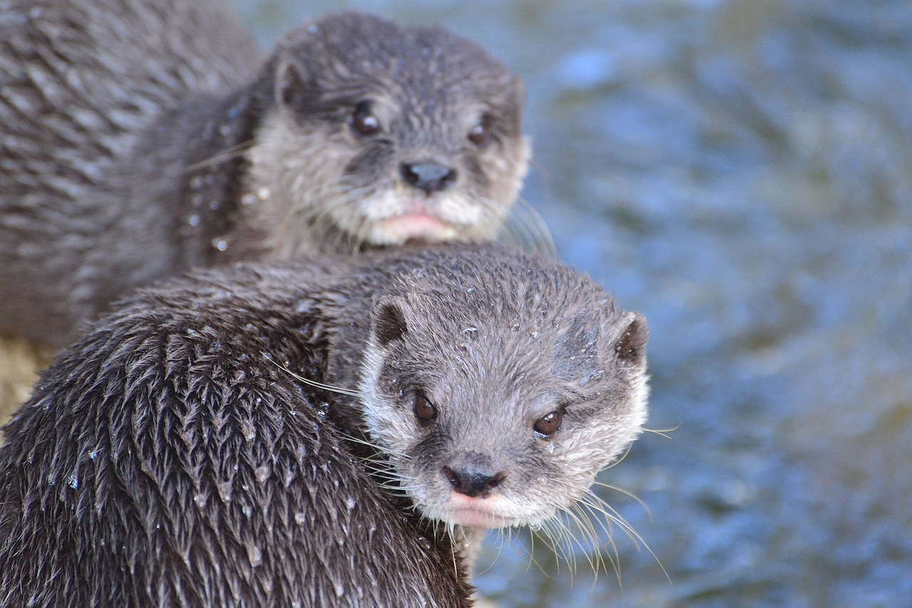 Here Is An Adorable Sea Otter Live Stream For You To Watch Instead Of Trump