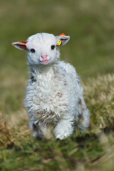 baby_lamb.jpg