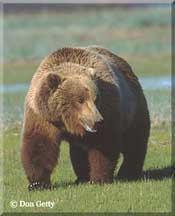 brown-bear-1.jpg