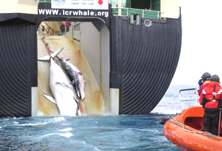 japan-whaling-2008_fb488.jpg
